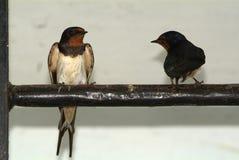 Uccelli ed animali in fauna selvatica Il sorso alimenta gli uccelli di bambino fotografia stock libera da diritti