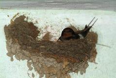 Uccelli ed animali in fauna selvatica Il sorso alimenta gli uccelli di bambino immagine stock libera da diritti