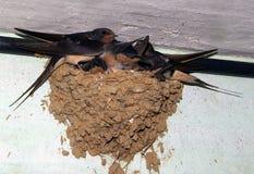 Uccelli ed animali in fauna selvatica Il sorso alimenta gli uccelli di bambino Fotografia Stock