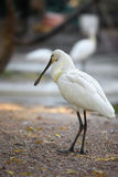 Uccelli euroasiatici di Bill del cucchiaio Fotografia Stock Libera da Diritti