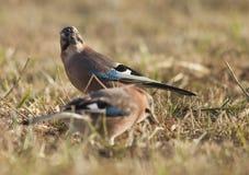 Uccelli europei di ghiandaia (glandarius del Garrulus) Fotografia Stock Libera da Diritti