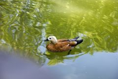 Uccelli in fauna selvatica L'anatra di Buetifull nuota in lago o in fiume con il bl Immagini Stock