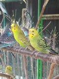 Uccelli gialli Fotografie Stock Libere da Diritti