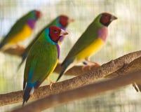Uccelli gouldian australiani del nativo del fringillide Immagini Stock Libere da Diritti
