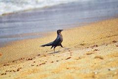 uccelli Grande-muniti di Grackle che mangiano le formiche maschii alate di Leafcutter del fuco, morenti sulla spiaggia dopo il vo fotografia stock libera da diritti