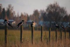 Uccelli grigi Immagini Stock Libere da Diritti