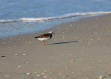 Uccelli guadanti del Turnstone Ruddy fotografia stock libera da diritti