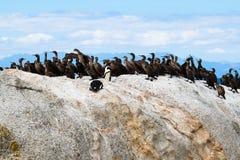 Uccelli il pinguino e del cormorano africani del capo ai massi tirano, il Sudafrica fotografia stock libera da diritti