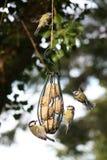 Uccelli intorno ad un alimentatore Fotografie Stock Libere da Diritti