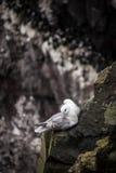 Uccelli islandesi Fotografie Stock Libere da Diritti