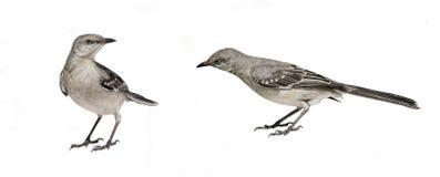 Uccelli isolati su bianco Fotografia Stock Libera da Diritti
