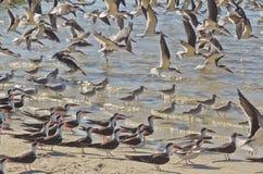 Uccelli marini di svernamento in Florida Fotografia Stock Libera da Diritti
