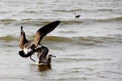 Uccelli marini nell'acqua Fotografie Stock Libere da Diritti