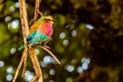 Uccelli in masai Mara Immagini Stock