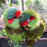 Uccelli mascherati del lorikeet Immagini Stock Libere da Diritti