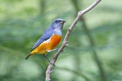 uccelli maschii Arancio-gonfiati di trigonostigma di Flowerpecker Dicaeum della Tailandia Immagine Stock