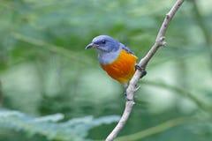 uccelli maschii Arancio-gonfiati di trigonostigma di Flowerpecker Dicaeum della Tailandia Fotografia Stock Libera da Diritti