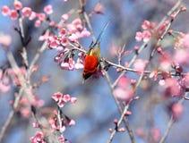 Uccelli maschii di gouldiae di Aethopyga di sunbird del ` s di sig.ra Gould della Tailandia Bi fotografie stock libere da diritti
