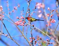 Uccelli maschii di gouldiae di Aethopyga di sunbird del ` s di sig.ra Gould della Tailandia Bi fotografia stock libera da diritti
