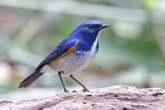 Uccelli maschii di rufilatus himalayano di Bluetail Tarsiger della Tailandia fotografia stock
