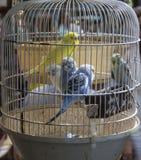 Uccelli messi in gabbia Fotografie Stock