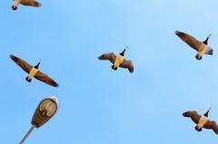 Uccelli migratori Fotografie Stock Libere da Diritti