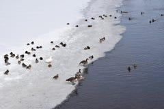 Uccelli migratori che riposano sul ghiaccio Immagine Stock