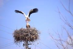 Uccelli migratori del reporter di notizie della molla delle cicogne Immagini Stock