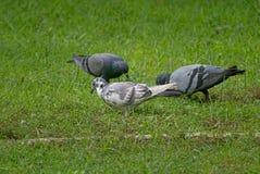 Uccelli nel campo di erba Immagini Stock Libere da Diritti