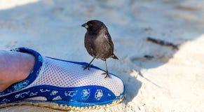 Uccelli nel Galapagos Immagini Stock Libere da Diritti