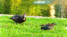 Uccelli nel lago e nel parco Eola stock footage
