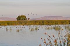 Uccelli nel lago più basso Klamath immagine stock