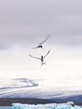 Uccelli nella laguna del ³ n del rlà del ¡ di Jökulsà Fotografie Stock