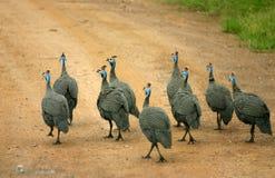 Uccelli nella strada Fotografia Stock