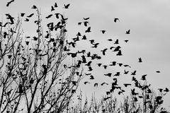 Uccelli neri Fotografia Stock Libera da Diritti