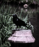 Uccelli neri al lago e ad Iris Gardens swan Fotografia Stock