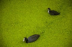 Uccelli neri con nuoto bianco del becco in canale ricoperto d'acqua dalle piccole piante acquatiche verdastre a gouda Fotografie Stock Libere da Diritti