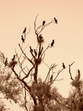 Uccelli neri di riposo sull'albero Fotografia Stock