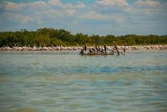 Uccelli neri su un albero rotto nell'acqua e nei pellicani bianchi in dalike Rio Lagartos, Messico yucatan Fotografia Stock