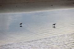 Uccelli neri sul litorale della spiaggia Immagine Stock