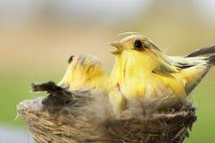 Uccelli in nido Fotografia Stock