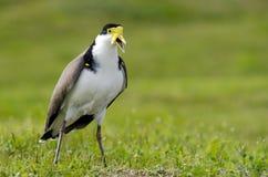 Uccelli - pavoncella mascherata Immagini Stock