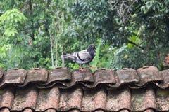 Uccelli, piccioni sul tetto Fotografie Stock Libere da Diritti