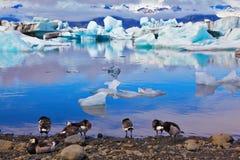 Uccelli polari sulla riva della laguna Immagini Stock Libere da Diritti