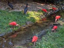 Uccelli rosa Fotografia Stock Libera da Diritti