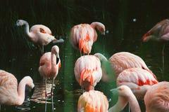 Uccelli rosa del fenicottero che stanno in acqua Fotografie Stock Libere da Diritti