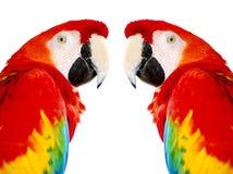 Uccelli rossi dorati del pappagallo del Macaw fotografie stock libere da diritti