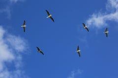 Uccelli Rosso-pagati volanti della testa di legno nel cielo blu Fotografia Stock