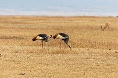 Uccelli selvaggi che camminano su un pascolo immagini stock