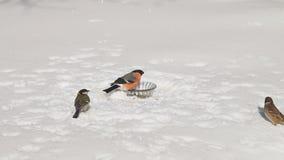 uccelli selvaggi d'alimentazione nell'inverno archivi video